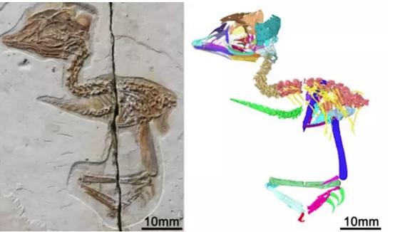 El extraño fósil encontrado en China: un diminuto pájaro con el cráneo de un T-Rex