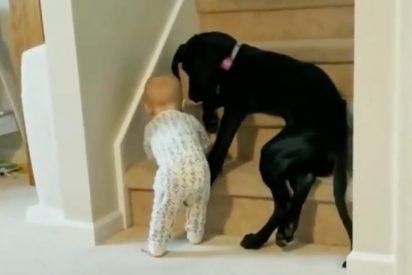 Héroe en la Red: el perro bloquea el paso de un bebé e impide que suba unas escaleras