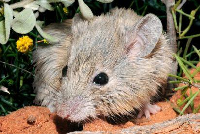 Un ratón extinto hace 150 años 'resucita' inexplicablemente