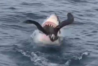 El escalofriante instante en el que el tiburón caza y engulle al gran petrel