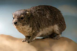 Una nueva especie de mamífero, descubierta en África por su peculiar ladrido