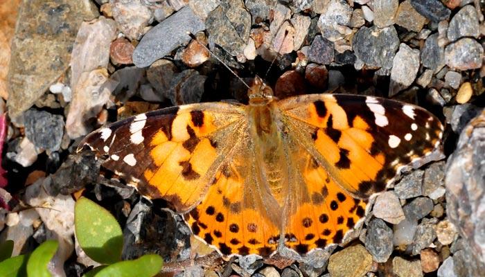 Así es la mariposa que atraviesa el Sáhara y logra la migración de insectos más larga del mundo