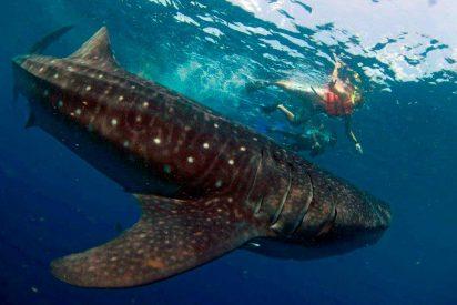 """Holbox: Nadando con el """"Tiburón Ballena"""", el pez más grande del mundo"""