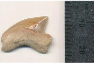 El enigma arqueológico de Israel: encuentran fósiles de dientes de tiburón