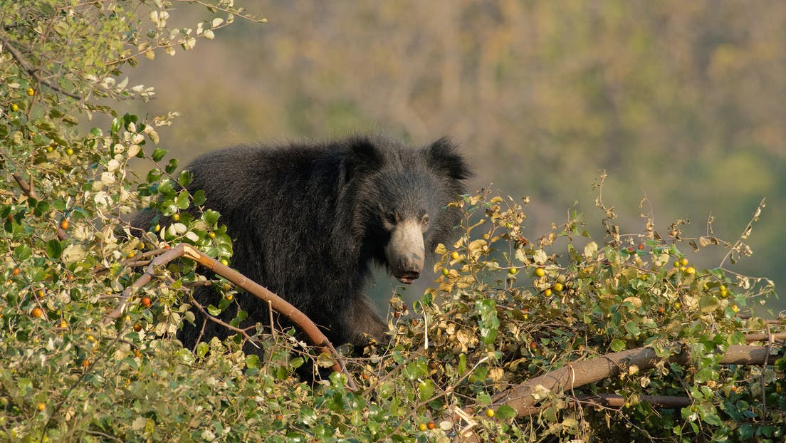 Este oso planta cara al tigre y lo pone en fuga sin recibir ni un arañazo