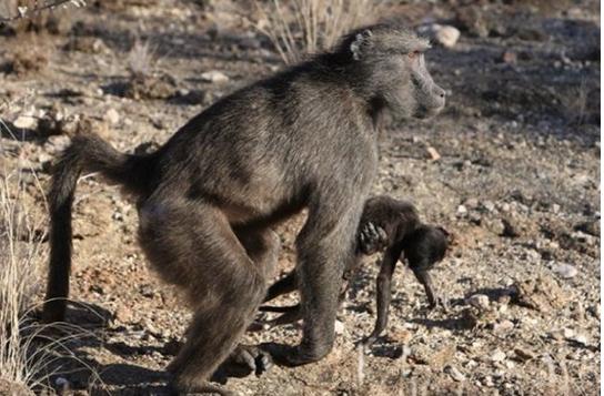 Cargar con sus bebés muertos: la expresión de duelo entre las madres primates