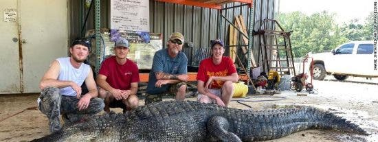 Encuentran antiguos objetos de valor incalculable en el estómago de este enorme cocodrilo