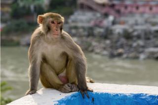 Una aldea de India, bajo el yugo de un mono: lo capturaron entre 30 personas, pero regresó para vengarse