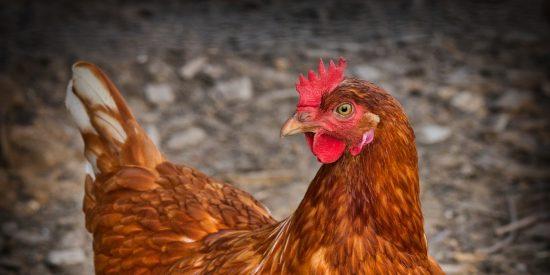 Parece una película de dibujos animados: la cabra y el pollo salvan a su amiga gallina de las garras del halcón