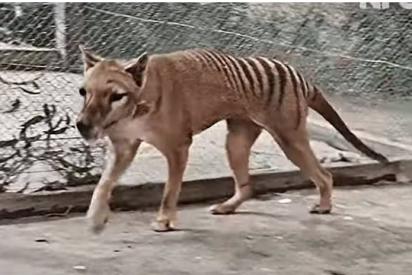 Recrean a todo color las imágenes del último tigre de Tasmania