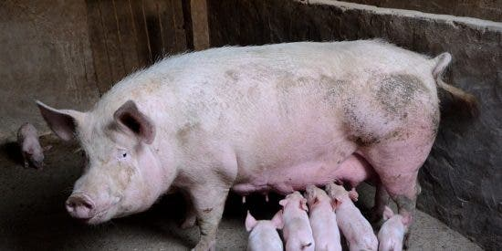Trasplantan con éxito un riñón de cerdo a un ser humano