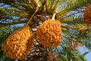 Plantan en Israel semillas de más de 2.000 años de antigüedad y este es el resultado