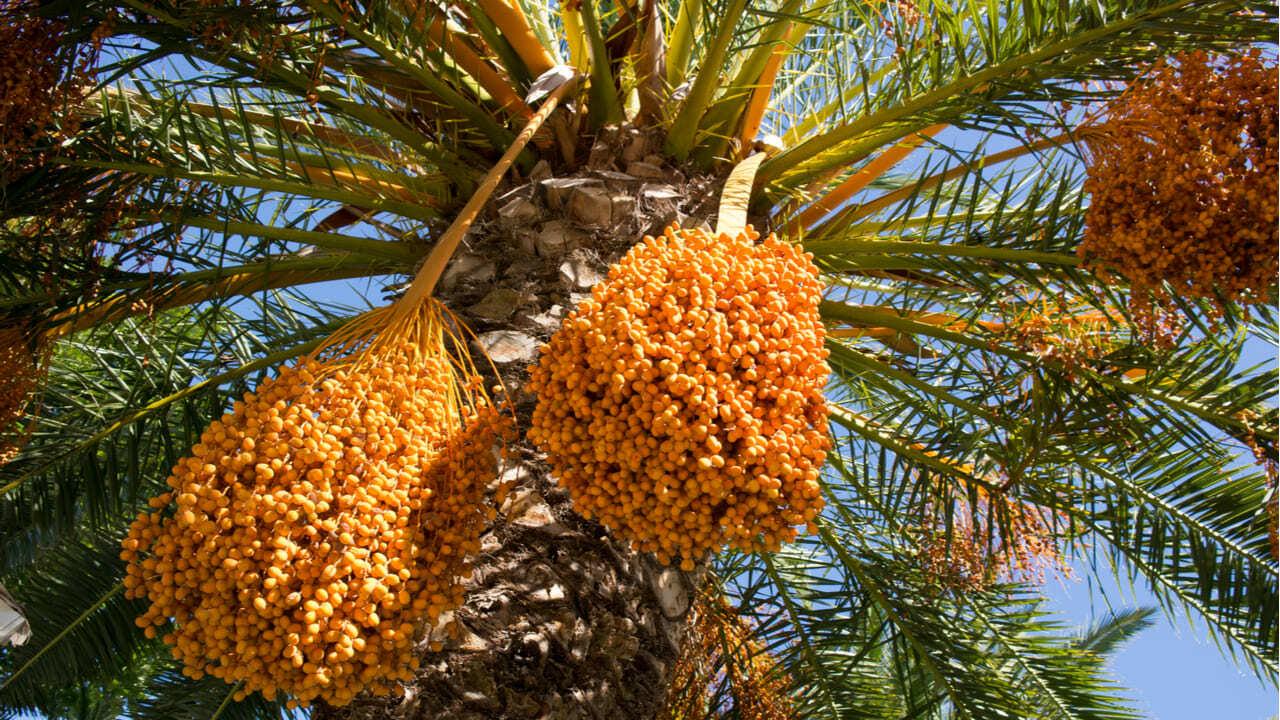 Milagro en Israel: un árbol Bíblico extinto, volvió a brotar de semilla de 2000 años Phoenix-dactylifera-Resucitan-una-palmera-de-la-e%CC%81poca-de-Cristo-que-daba-grandes-da%CC%81tiles