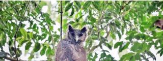 Logran fotografiar a un enorme búho tropical, una especie 'perdida' desde hace 150 años