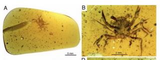 Encuentran preservado en ámbar al primer cangrejo de la era de los dinosaurios